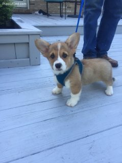 Super cute Pembroke welsh corgi puppies for sale