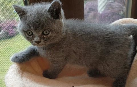 صور Clean British short hair kittens for sale 1