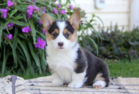 Clean Pembroke welsh corgi puppies for sale