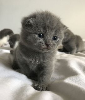 Quality British short hair kittens for sale