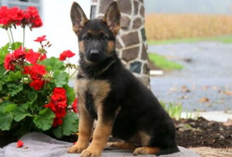 Awesome AKC Herman shepherd puppies for sal