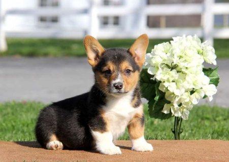 Beautiful Pembroke welsh corgi puppies for sale