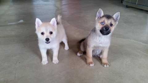 Healthy Pomsky Puppies for Adoption