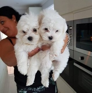 Teacup Maltese Puppies Available