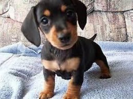 Dachshund puppies available for new home