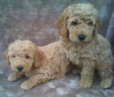 صور Goldendoodle puppies available for sale 1