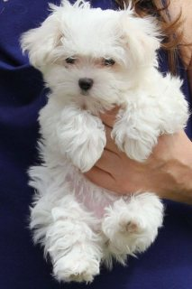 Maltese ready for new homes
