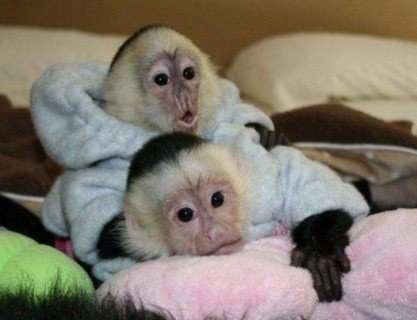 Super clean Capuchin Monkeys for sale
