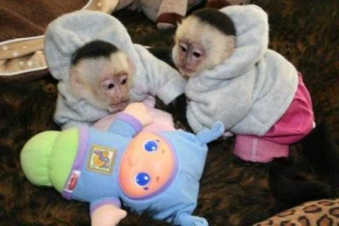صور Super cute Capuchin Monkeys for sale 1