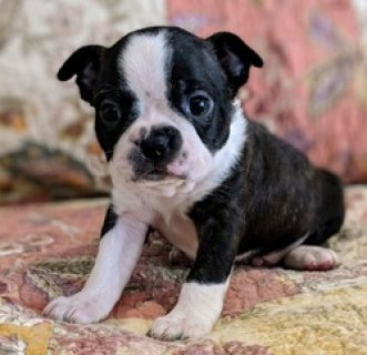 Friendly Boston Terrier Puppies
