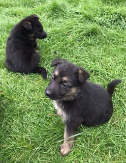 Akc German Shepard Puppies For Sale