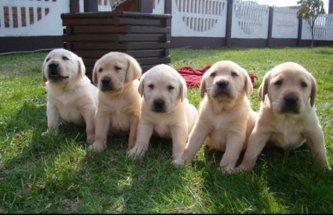 Healthy Labrador Retriever Puppies For Sale