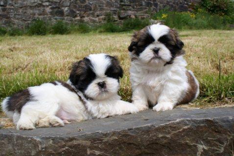 Beautiful Shih Tzu Puppies For Sale