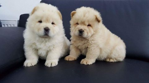 Cute Chow Chow Puppies For Sale