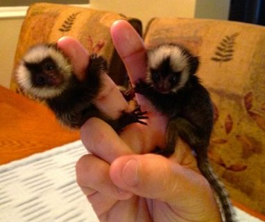 Beautiful Vaccinated Marmosets Monkeys