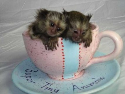 Finger Baby Marmoset Monkeys