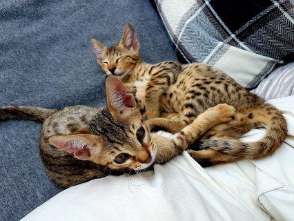 Lovely Savannah Kittens for sale