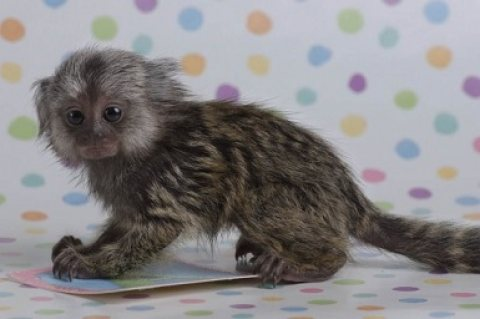Marmoset monkeys Available and Ready