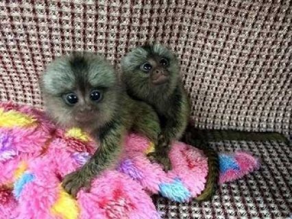 Baby Marmoset monkeys available