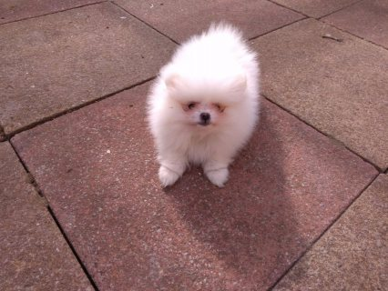 صور Pomeranian Puppies for sale 1