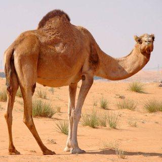 Desert Camel available for sale