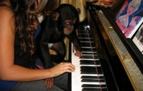 Home trained female baby chimpazee monkey looking for a new