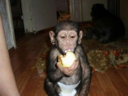 Well Trained Baby Chimpanzee Monkey For Adoption