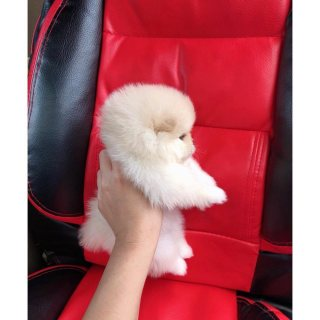 Teacup Pomeranian for sale