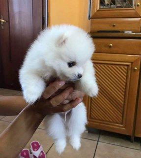 Teacup Pomeranian Puppies Ready for adoption