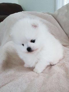 Pomeranian puppy purebred teacup