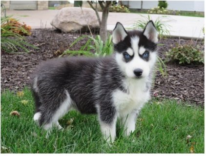 Siberain husky puppy