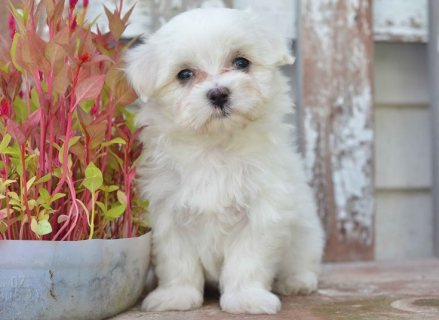 Awesome Maltese puppies for sale.