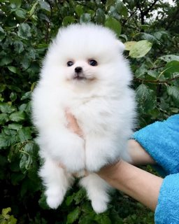 Friendly Pomeranian Puppies For Sale.