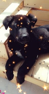 كلب لابرادور اصلي عمرو ثلاثة شهور