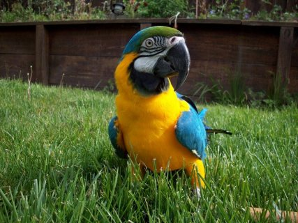 صور   Hand raised  Blue And Gold Macaw Parrot for sale 1
