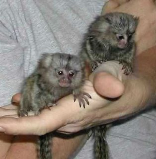 marmoset/capuchin monkey for sale