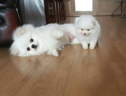 MALE AND FEMALE POMERANIAN PUPPIES AVAILABLE