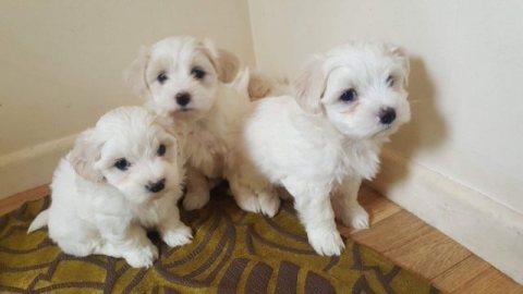 Beautiful Maltese puppies for Adoption