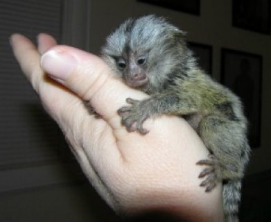 صور Charming Marmoset Monkeys Available 1