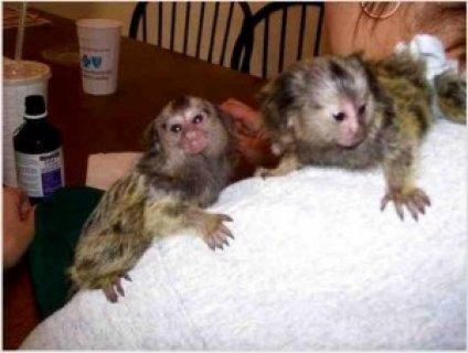PYGMY MARMOSETS LOOKING FOR GOOD HOME!