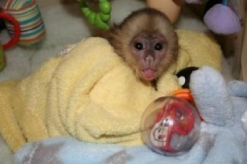 Sweet Little Capuchin Monkey