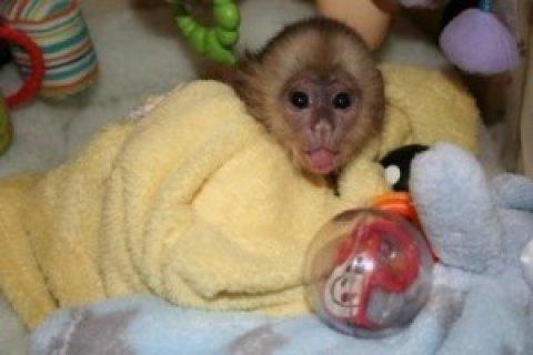 Sweet Little Capuchin Monkey