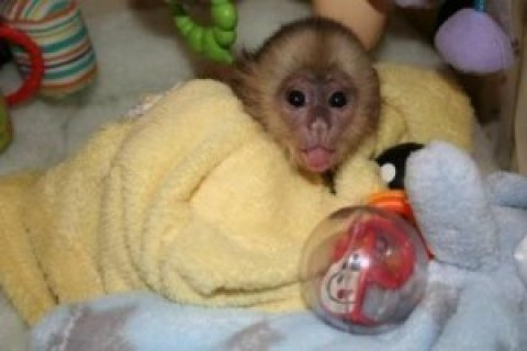 صور Female Capuchin Monkey for Sale 1