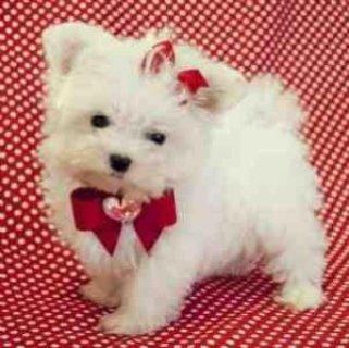 Teacup Maltese Puppies For Adoptio
