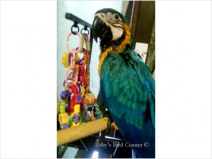 Baby Blue & Gold Macaw 22