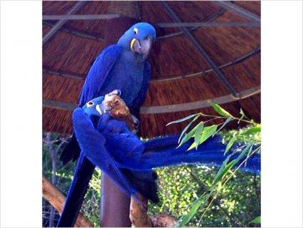 Hyacinth Macaw Breeding Adults