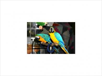 Female and Male macaw