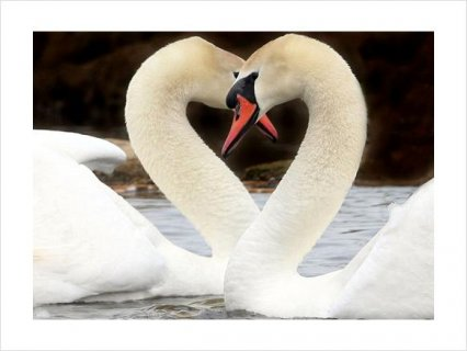 Beautiful PAIR WHITE MUTE BREEDER SWANS FOR SALE1