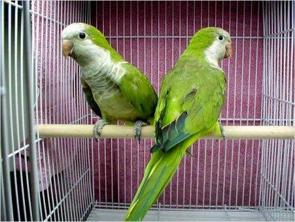 Quaker (Monk) Parrot (Parakeet)2