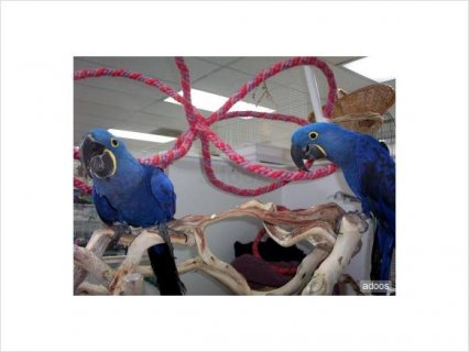 Hyacinth Macaw for adoption2